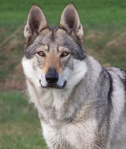 Czechoslovakian Wolfdog - look at those eyes!