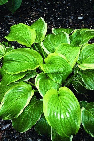 Hosta plantaginea Ming Treasure