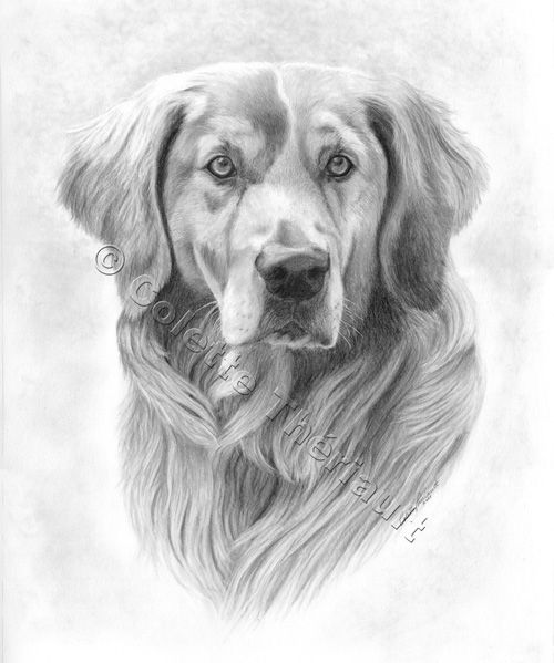 Line Drawing Golden Retriever : Golden retriever drawing pet portraits dogs