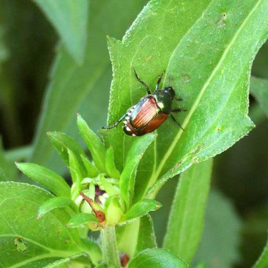 Japanese beetles can devastate your beautiful garden. Our handy guide shows you how to get rid of them.