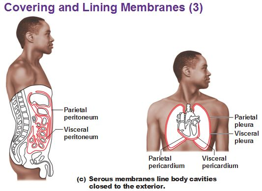 the serous membrane lining the cavity of the abdomen and covering the abdominal organs. serous membrane parietal peritoneum visceral pleura