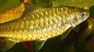Best Trout Fishing In US: Cara Rahsia Untuk Memancing Ikan Kelah  - King Of ...