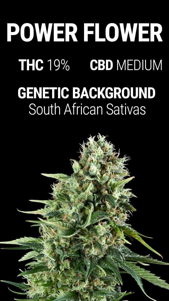 During the 90s, a group of passionate growers from the Netherlands travelled to South Africa to gather genetics which could be added to their library. Using the genetics they collected, this team would give birth to a nearly pure Sativa (12% Indica) made exclusively with those genetics.