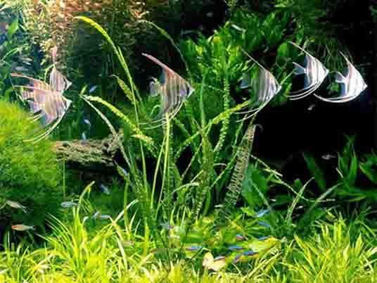 acuarios de agua dulce peces - Buscar con Google