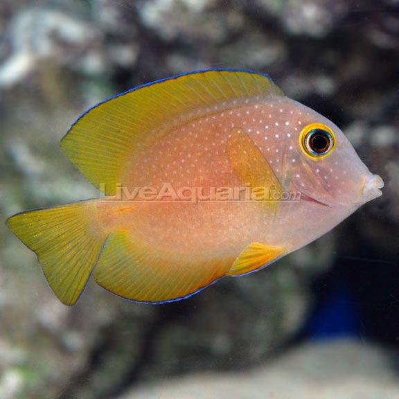 17 best images about dokter of eenhoornvissen on for Tang saltwater fish