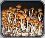 Psilocybin Genera Spores