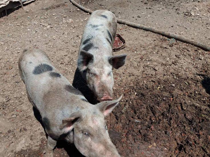 Домашний скот #Фермеры #свинья #Свиньи Как выращивать свиней