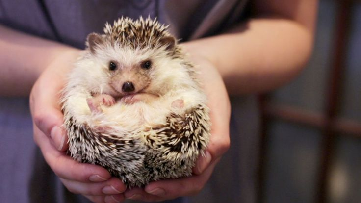 As far as pets go, it is the African pygmy hedgehog that is the most popular. These hedgehogs have a lifespan of around...