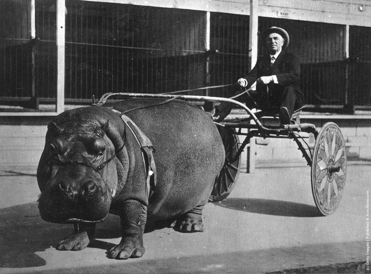 hippo captivity--probably another rothschild catastrophe (see, e.g., walter rothschild's unsuccessful attempt to tame wild zebras as domesticated horses. once it became clear that was not feasible, he took to creating unnatural-habitat zoos in northern Europe and participated in regular safari hunting of zebra (and other wildlife)--not for food, clothing or survival but for boredom and sport...)