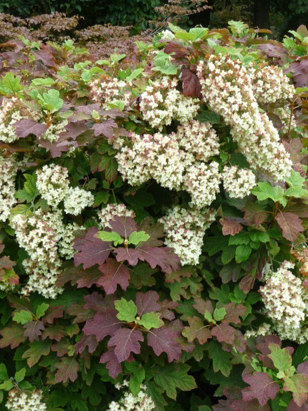 'Snowflake' Oakleaf Hydrangea (Hydrangea quercifolia 'Snowflake')