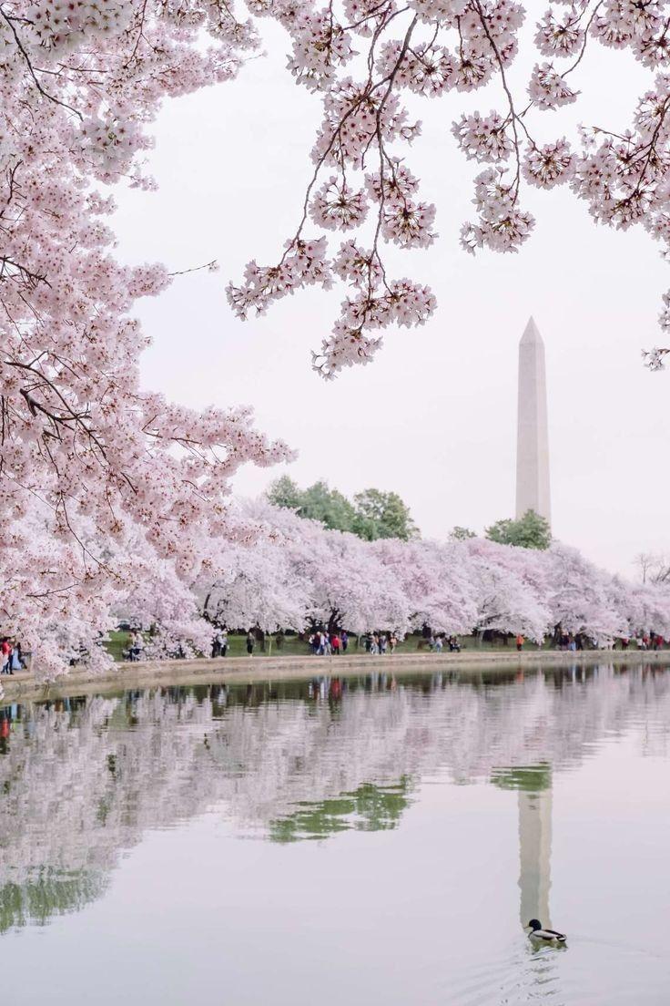 Pin By Chiharusan On Sakura Cherry Blossom Festival Cherry Blossom Wallpaper Cherry Blossom Washington Dc