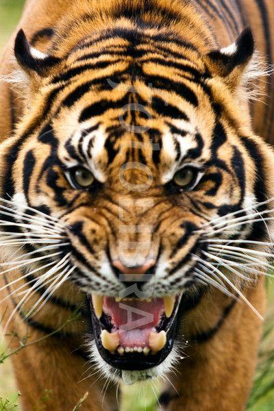 fierce angry tiger - Google Search | Art- Murals/ Bulletin ... - photo#22