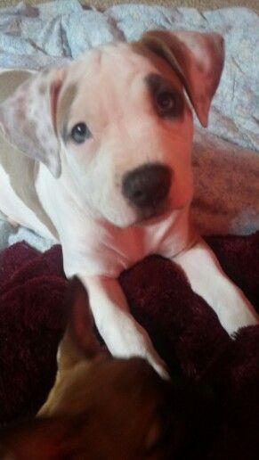 Mercy Girl 9 weeks old Razors Edge/Gotti pitbull pup