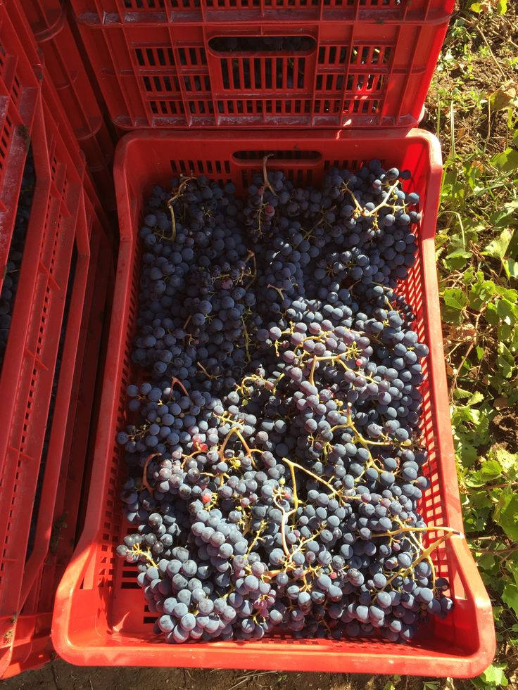 Grapes ready to became good wine