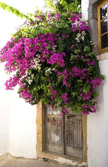 Bougainvillea flowers in front of a door.. Patmos Island (Dodecanese), Greece