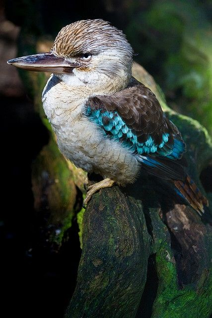 Blue-winged Kookaburra by Peter Nijenhuis on...