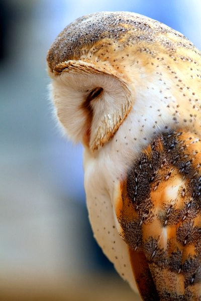 Barn Owl                                                                                                                                                     Mais