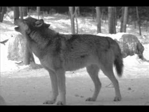 ▶ Wolf sounds - YouTube
