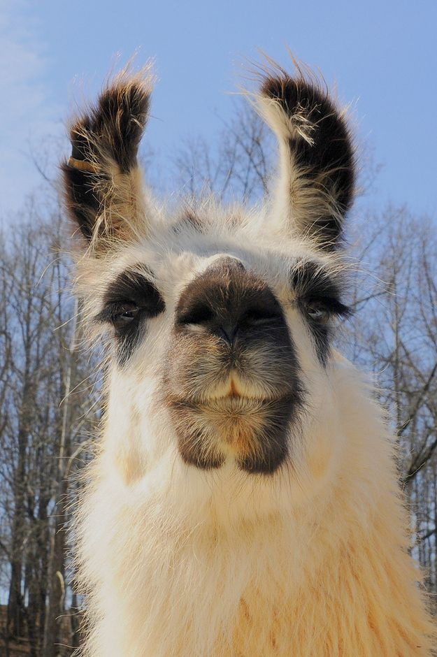 This llama is just extremely confident that he is better looking than the skinny weirdos he sees in magazines. Llama models!