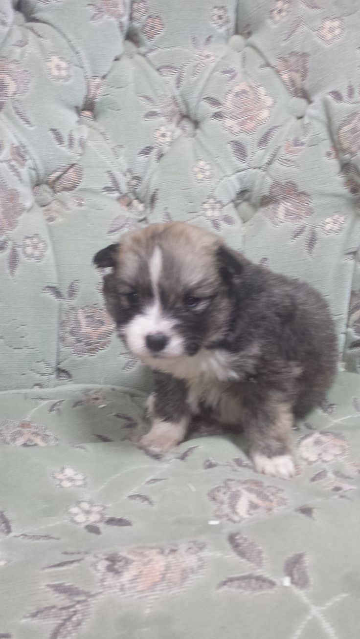 Brown Pomsky Puppies for Sale