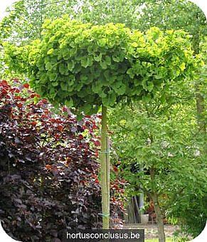 Ginkgo biloba Japanse notenboom soorten cultivars voor kleine tuin stadstuin notenbomen planten