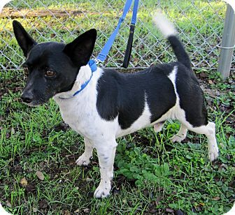 Georgetown, TX - Welsh Corgi/Rat Terrier Mix. Meet Tootle Two, a dog for adoption. http://www.adoptapet.com/pet/17027046-georgetown-texas-welsh-corgi-mix