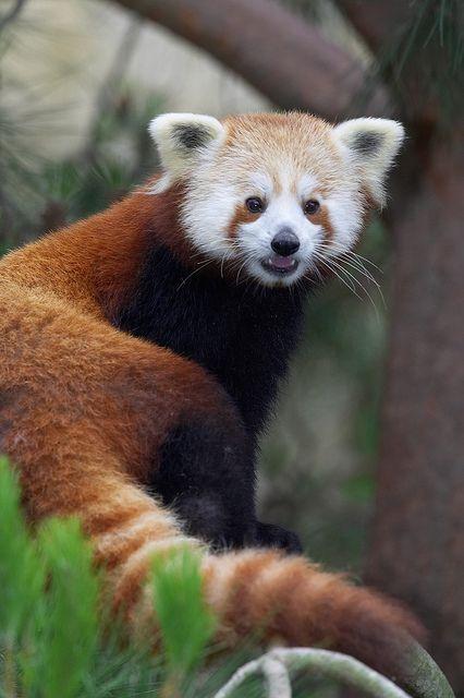The other panda...red pandaCelebrities Kicks, Backstage Pass,  Red Pandas, Facebook App, China Celebrities, Fun Games, Plays Fun, Diego Zoos, Lesser Pandas