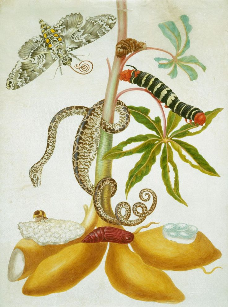 Cassava, rustic sphinx moth, caterpillar and chrysalis of tetrio sphinx moth and garden tree boa | Royal Collection Trust