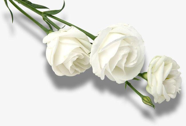 Rosa Blanca Rosas Blancas Petalos De Rosa Marco Rosa