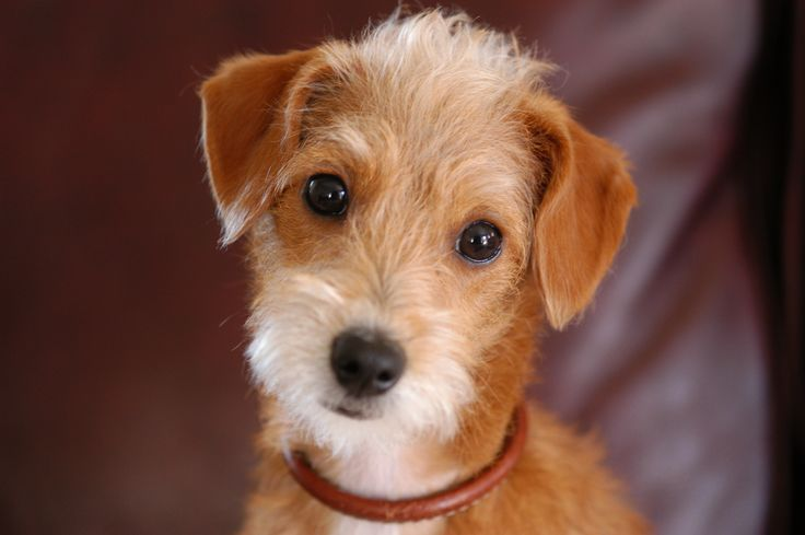 chiuaua jack russell terrier mix gracie is a jack russell and poodle mix pets and animals 3798