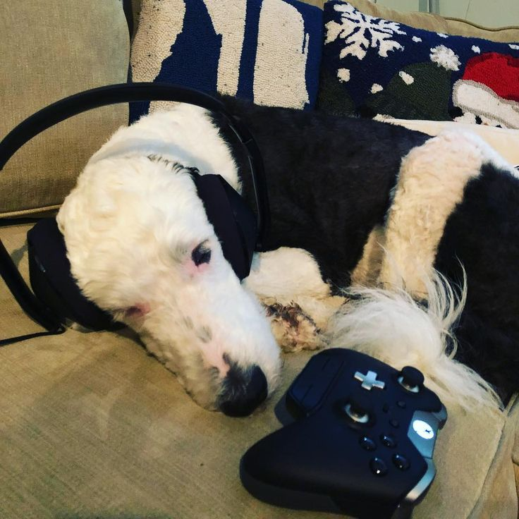 Im a #GamerDog ! Or at least dad is... #Overwatch #Xbox #sheepadoodle