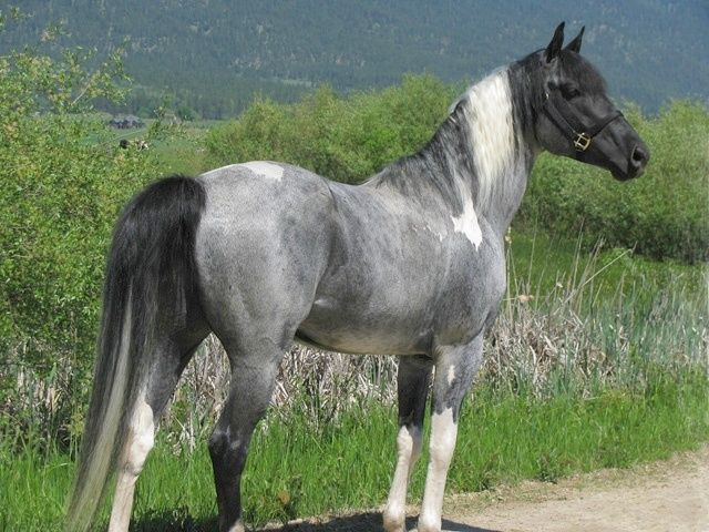 Blue Roan Pinto - gorgeous! :)