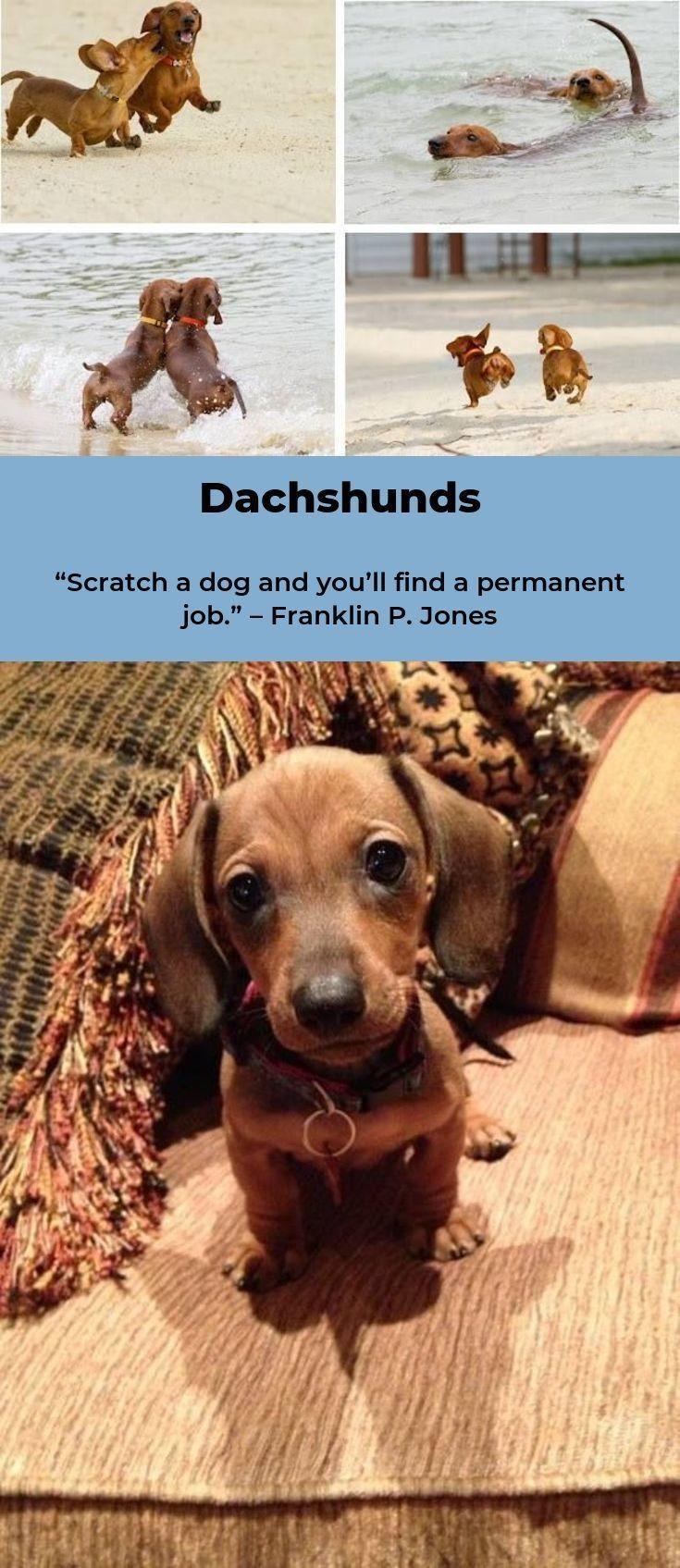 Daschunds Daschundslover Daschundmini Daschund Dog Dachshund