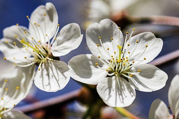 #AlexanderCherevanFineArtPhotography #ArtForHome #FineArtPrints #cherry #spring  Blooming Cherry