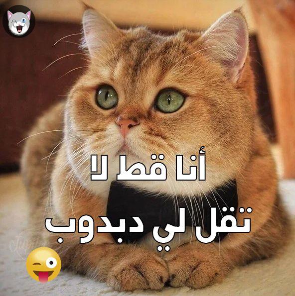 بدون شعر القط الفرعوني سفينكس يثير الرعب صور بوابة أخبار اليوم الإلكترونية