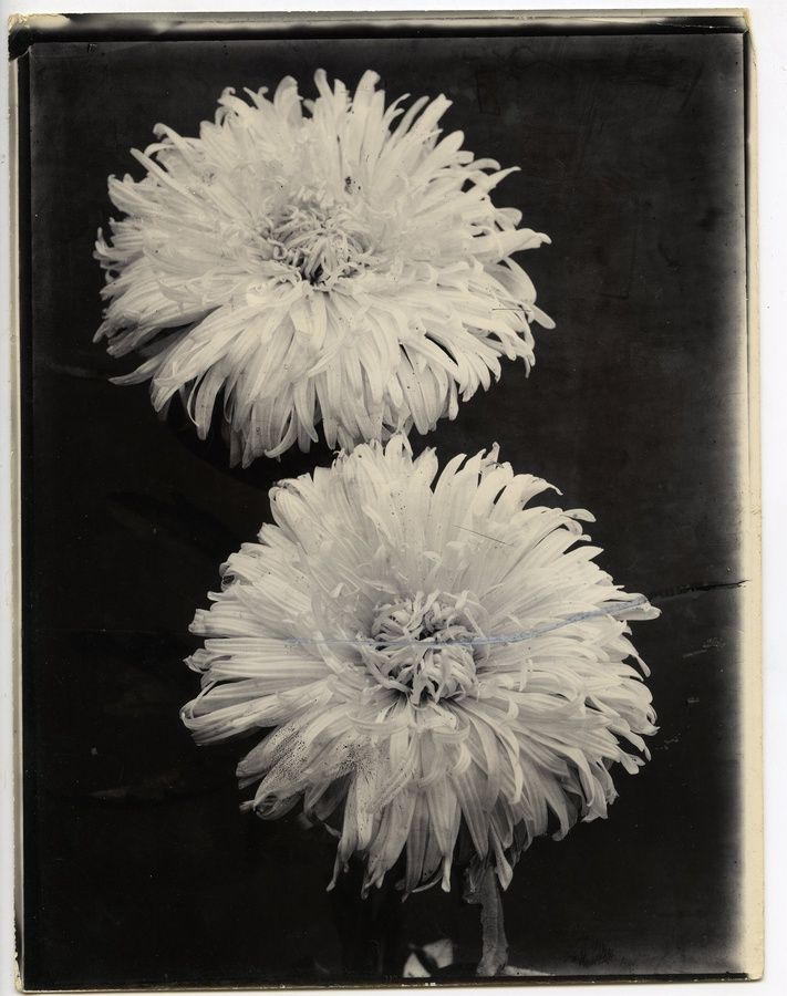 "<div class=""artist""><strong>Charles Jones</strong></div><div class=""title_and_year""><em>Chrysanthemum</em>, c.1900</div><div class=""medium"">Unique gold toned gelatin silver printing out paper</div><div class=""dimensions"">25.5 x 20.1 cm</div>"