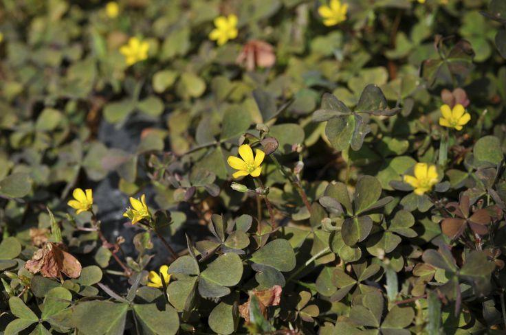 146 best images about weeds on pinterest edible plants. Black Bedroom Furniture Sets. Home Design Ideas