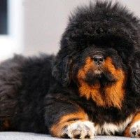 #dogalize Dog Breeds: Tibetan Mastiff temperament and personality #dogs #cats #pets