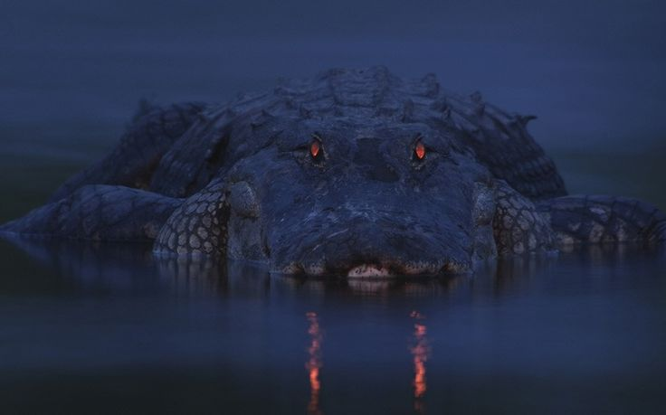 Red Eye by Larry Lynch: Like cats, an alligator has a tapetum lucidum at the back of each eye - a structure that reflects light back into the photoreceptor cells to make the most of low light. The colour of eyeshine differs from species to species. In alligators, it glows red - one good way to locate alligators on a dark night. The greater the distance between its eyes, the longer the reptile, in this case, very long.via telegraph.co.uk #Alligator #Vision #Larry_Lynch #telegraph_co_uk