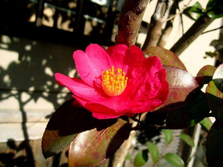 1月29日の誕生日の木は「タチカンツバキ(立寒椿)」です。  ツバキ科ツバキ属の常緑低木。原産地は日本。一般的にカンツバキと呼ばれるシシガシラ(獅子頭)の種から生まれた園芸品種です。 愛知県の農家、服部勘次郎氏の庭にある老木から増殖されたもので「カンジロウ(勘次郎)」の別名を持ちます。背丈が低く横に広がっていく性質のカンツバキと違い、サザンカのように枝が上に伸び、背丈が高くなります。 樹高が3m~5m。葉は暗い緑色で艶がある卵形で、互生し、葉の先は尖り、縁には鈍いギザギザ(鋸歯)があります。開花時期は11月~2月ころ。花は、直径8㎝くらいの赤い色で八重咲きです。