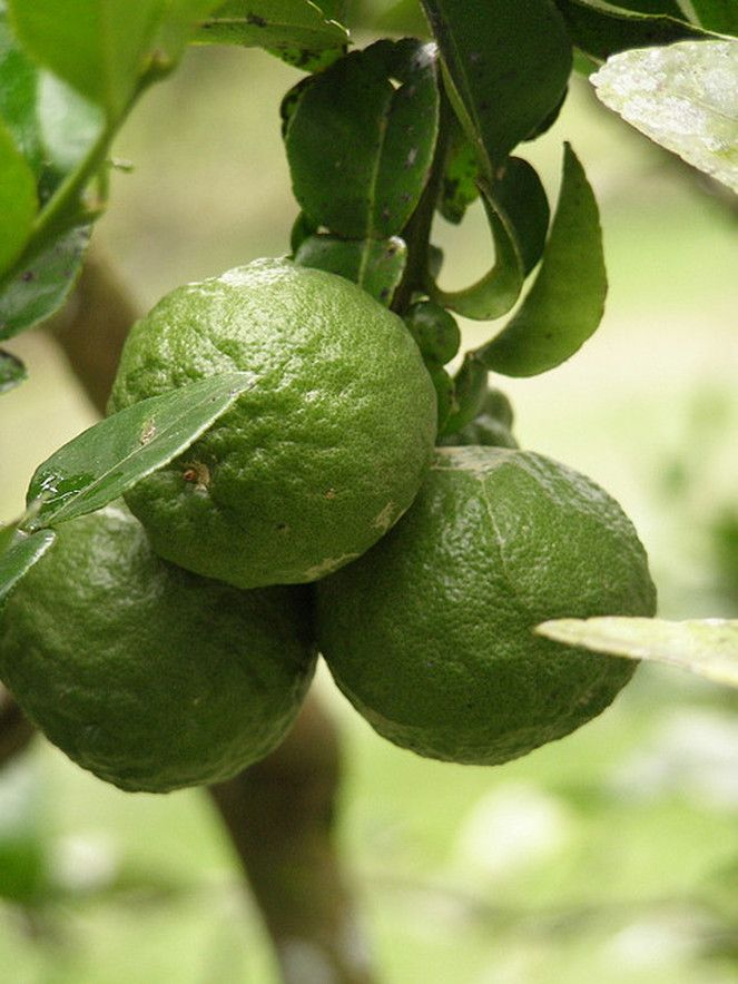 Fragrant and aromatic Kaffir Lime is a favourite flavouring herb, from India to Indonesia. The main use of the tree is the fresh, very aromatic leaves. The aroma of a fresh crushed leaf is very special and immediately energises the body and gives a feeling of wellbeing.