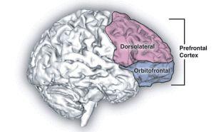 Lóbulo frontal: el director.