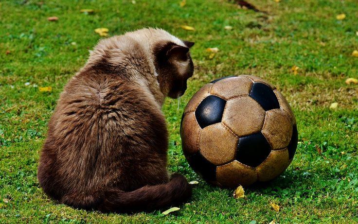 Кошка, Футбол, Смешной, Луг