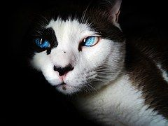 Siamese, Blue Eyes, Cute, Feline, White