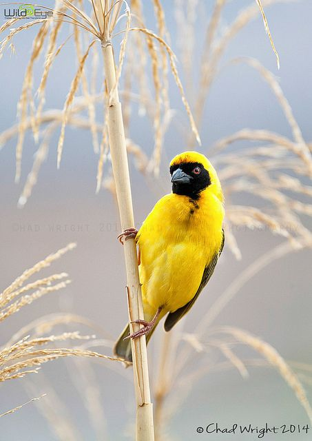Southern Masked Weaver bird in South Africa.