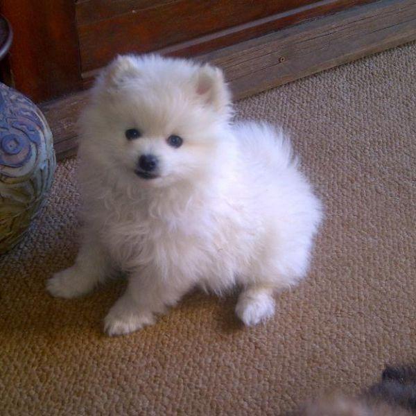 maltese pomeranian mix | maltese chihuahua pomeranian mix puppies