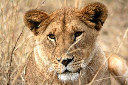 Lionne dans le Nord du Serengeti : Lions : Animaux : Parc national du ...
