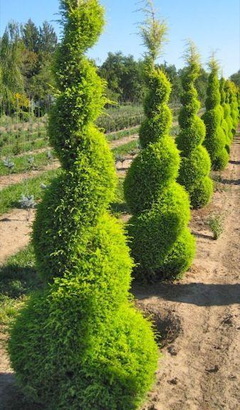 juniperus communis flanking garage
