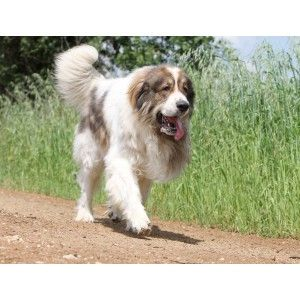 The Pyrenean Mastiff is a large breed of dog originally from the Aragonese Pyrenees in Spain. It should not be confused with the Pyrenean Mountain Dog. They have a heavy white coat with large darker spots. The average weight is about 178 pounds, although males can often weigh over 220 pounds.