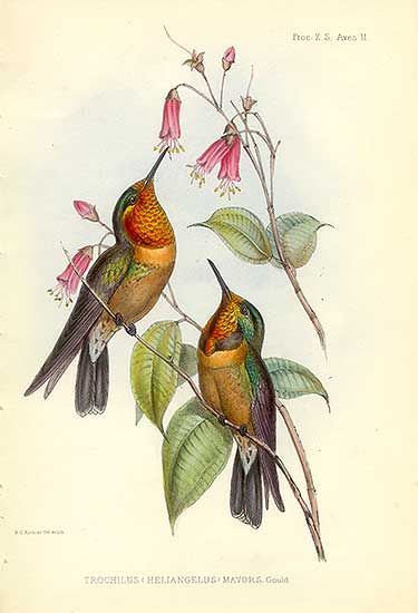Antique print: picture of Orange-throated Sun Angel Hummingbird- gold leaf iridescence - Trochilus (Heliangelus) mavors - newly discovered species